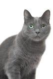 Russische blaue Katze, die auf lokalisiertem weißem Hintergrund sitzt Lizenzfreie Stockfotos