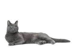 Russische blaue Katze, die auf Weiß liegt Lizenzfreies Stockfoto