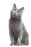 Russische blaue Katze mit den grünen Augen, die auf getrenntem Weiß sitzen Lizenzfreie Stockfotos