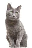 Russische blaue Katze mit den grünen Augen, die auf getrenntem Weiß sitzen Stockfotografie