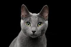 Russische blaue Katze mit erstaunlichen grünen Augen auf lokalisiertem schwarzem Hintergrund Stockfoto