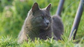 Russische blaue Katze mit grünen Augen Lizenzfreie Stockfotos