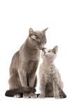 Russische blaue Katzen Lizenzfreie Stockfotos