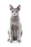 Russische blauwe kat Stock Afbeeldingen