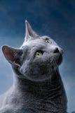 Russische Blauwe Kat royalty-vrije stock foto