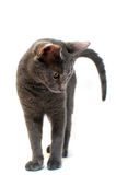 Russische Blauwe kat Stock Foto's