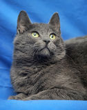 Russische blauwe kat Royalty-vrije Stock Foto's