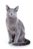 Russische Blauwe kat Royalty-vrije Stock Afbeelding