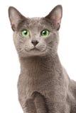 Russische blauwe kat Stock Foto