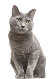 Russische blauwe kat met groene ogen die op geïsoleerdo wit zitten Stock Fotografie