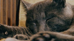 Russische blauwe kat in slaap als voorzitter stock footage