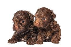 Russische de hondpuppy van de kleurenoverlapping royalty-vrije stock afbeeldingen