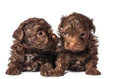 Russische de hondpuppy van de kleurenoverlapping royalty-vrije stock foto's