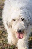 Russische de schapenhond van het zuiden Royalty-vrije Stock Foto's