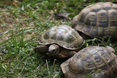 Russische die schildpad (Agrionemys-horsfieldii), ook als de Centrale Aziatische schildpad wordt bekend Royalty-vrije Stock Foto