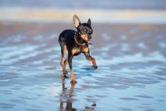 Russische stuk speelgoed hond die op het strand lopen stock fotografie