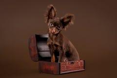 Russische stuk speelgoed terriër Royalty-vrije Stock Foto