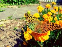 Russische vlinder Royalty-vrije Stock Foto's