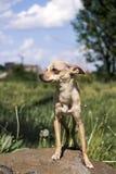 Russische vlot-met een laag bedekte Toy Terrier-tribunes trots op de steen stock afbeelding