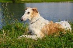 Russische Wolfshond Royalty-vrije Stock Foto
