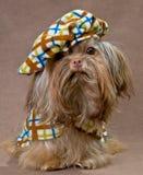 Russischer Farbenschosshund im Studio Stockbild
