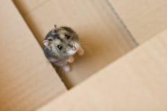 Russischer Hamster stockfotos