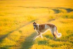Russischer Hund, Barzoi, der in Sommer-Sonnenuntergang-Sonnenaufgang-Wiese laufen oder F Stockfotos