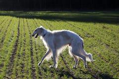 Russischer Jagdhundwindhund lizenzfreie stockfotos