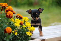Russischer Spielzeugterrierwelpe mit den Blumen Stockfotografie