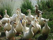 Russischer Teich mit seinen Einwohnern ihrer weißen inländischen Enten werden für Lebensmittel und Wachstum gezüchtet Lizenzfreies Stockfoto