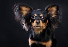 Russischer Toy Terrier Dog Long behaart stockfoto
