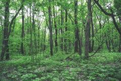 Russischer Wald des grünenden Frühlinges Anfang Mai Lizenzfreies Stockbild