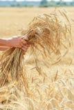 Russischer Weizen Stockfoto