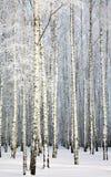 Russischer Winter - Birken-Waldung auf Hintergrund des blauen Himmels Stockfotos