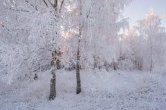 Russischer Winter Winter Forest Landscape In Pink Tones Morgen-Winter-Birke ForestBeautiful-Winter-Birke Forest Covered With Hoar Lizenzfreie Stockfotografie