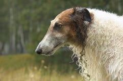 Russischer Wolfhound #05 Stockfotografie