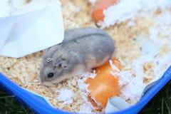 Russischer zwergartiger Hamster mit Holzspänen Stockfotos