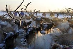 Russisches arktisches eingeborenes Stockfoto