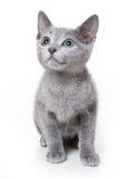 Russisches blaues Kätzchen Lizenzfreie Stockfotografie