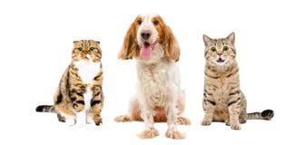 Russisches Spaniel und zwei Katzen, die zusammen sitzen Lizenzfreie Stockfotos