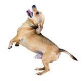 Russkiy di scortecciamento Toy Terrier Fotografia Stock