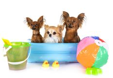 Russkiy Toy and chihuahua. In front of white background royalty free stock images