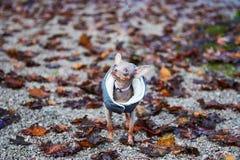 Russkiy Toy Terrier Dog com as folhas no outono Modo do outono foto de stock