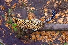 Russland, Primorskiy-Leopard, der auf dem Baum sitzt große beschmutzte Katze lizenzfreie stockbilder