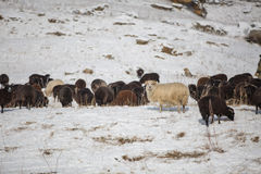 Russland, Republik von Kabardino-Balkarien Schafe ` s lassen auf der Alpe weiden lizenzfreies stockfoto