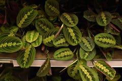 Russland, St Petersburg, 15,03,2015 Topfpflanzen für Verkauf in Stockfoto