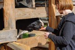 Russland, Suzdal, im September 2017 Kinder ziehen die Kuh in einem Stift von den Händen ein Lizenzfreies Stockbild