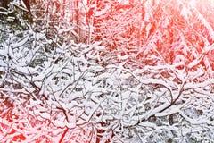 Russland, UralJanuary, Temperatur -33C Schnee bedeckte Gras Stockbild