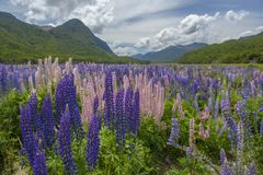 Russle Lupines at milfordsound Stock Image