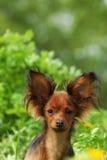 Russo decorativo do cão Fotos de Stock Royalty Free